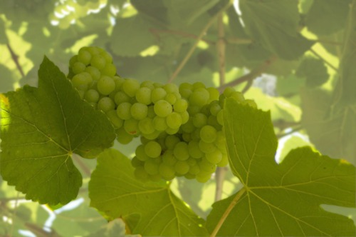 Growing grapes - Table grapes vs wine grapes ...