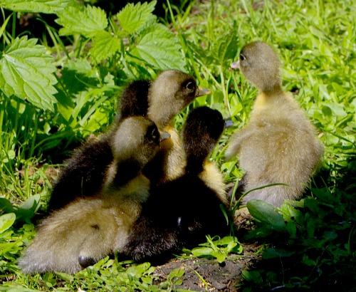 Raising ducks in the backyard or barnyard